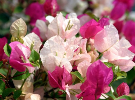 Taille du bougainvillea bougainvilleasicily for Culture du bougainvillier en pot